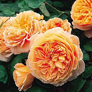 ROSIER anglais 'Crown Princess Margareta'® - ROSIER anglais 'Lady Emma Hamilton'® - Rosier
