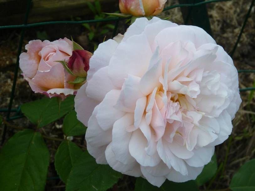 ROSIER anglais 'The generous gardener'® - ROSIER anglais 'The generous gardener'® - Rosier