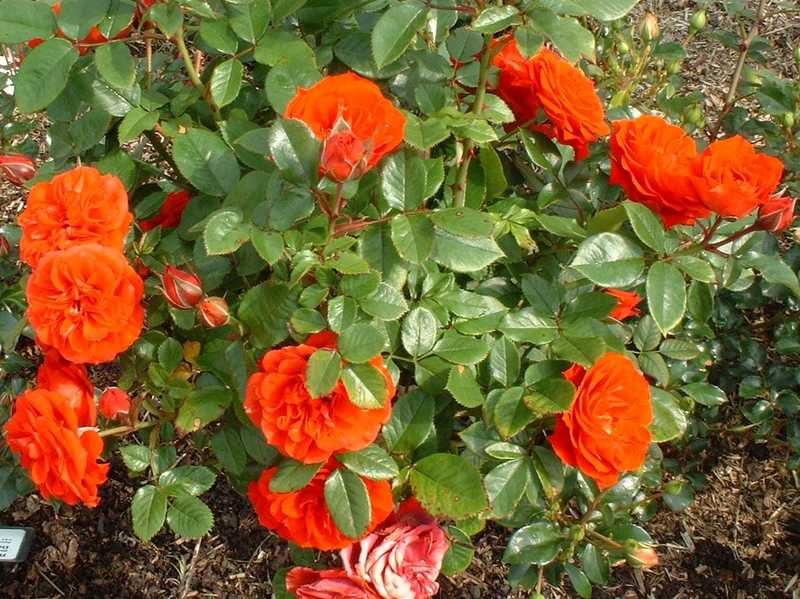 ROSIER grimpant petite fleur 'Orange Sensation' - ROSIER grimpant petite fleur 'Orange Sensation' - Rosier