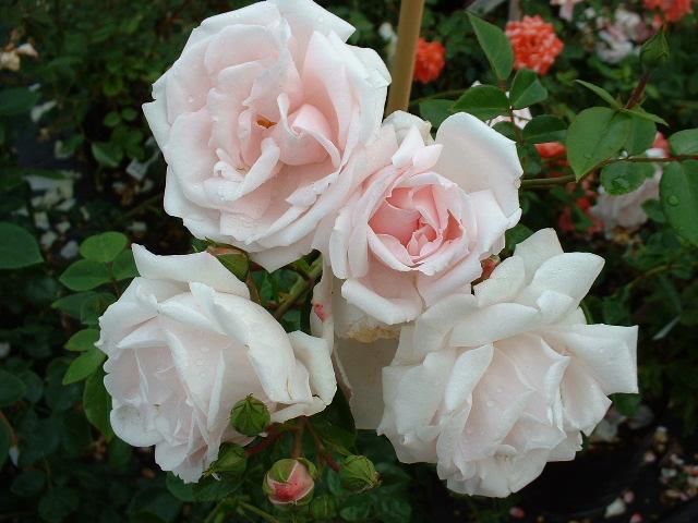 rosier grimpant petite fleur 39 new dawn 39 rosier grimpant petite fleur 39 pink dawn 39 rosier. Black Bedroom Furniture Sets. Home Design Ideas