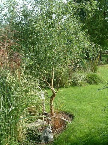 Les arbres de petit d veloppement - Petit arbre decoratif ...