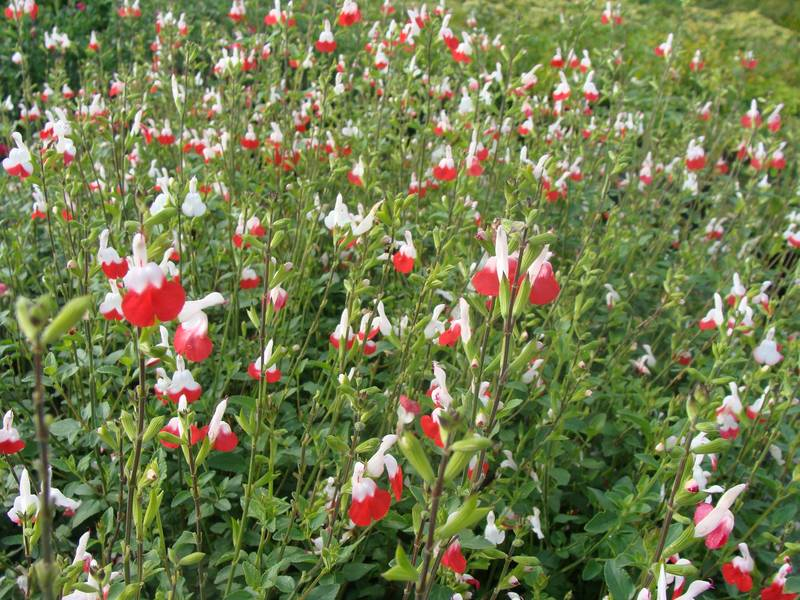 Sauge - SALVIA microphylla Hot lips - Arbuste