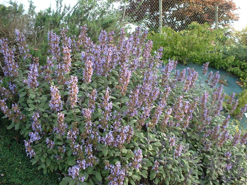 Sauge - SALVIA officinalis Purpurea - Arbuste