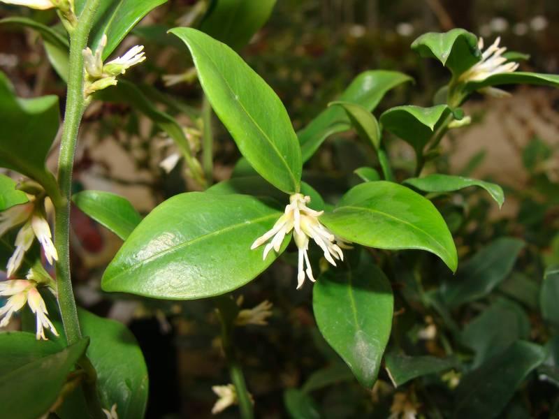 SARCOCCOCA Ruscifolia