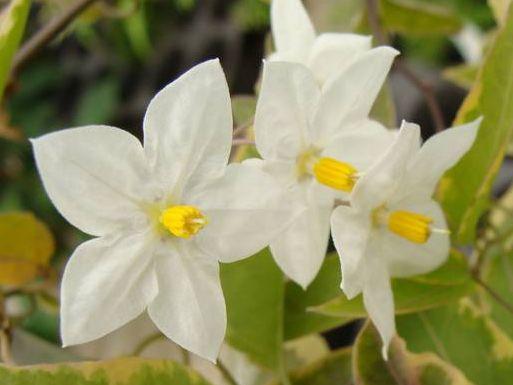 SOLANUM jasminoides Blanc