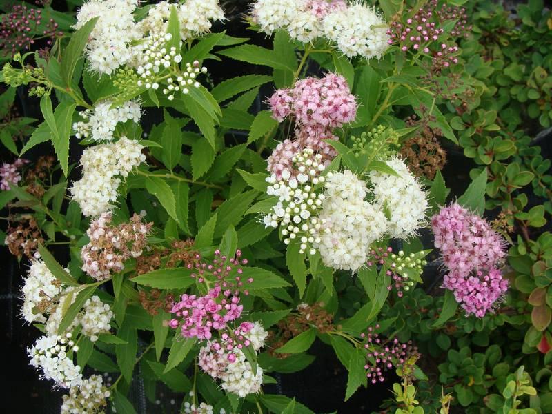 """Résultat de recherche d'images pour """"spiraea japonica shirobana"""""""