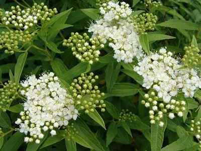 spiree japonica 39 albiflora 39 spir e japonaise blanche arbuste. Black Bedroom Furniture Sets. Home Design Ideas