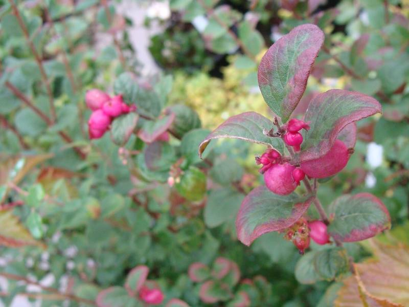 Symphorine rose - SYMPHORICARPOS 'Magic berry' - Arbuste
