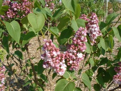 Lilas commun rose - SYRINGA vulgaris 'Belle de Nancy' - Arbuste