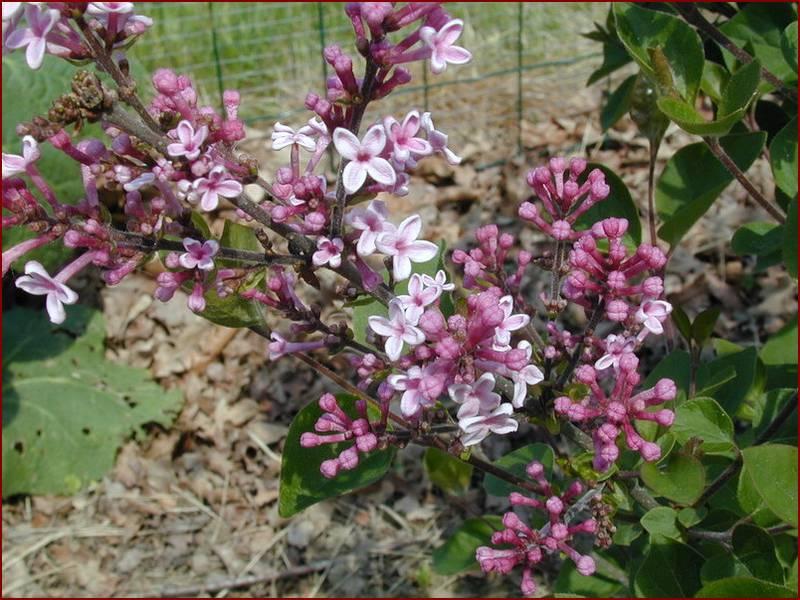 Marvelous Arbuste A Fleurs Roses #13: SYRINGA U0027Joseeu0027 Lilas De Chine