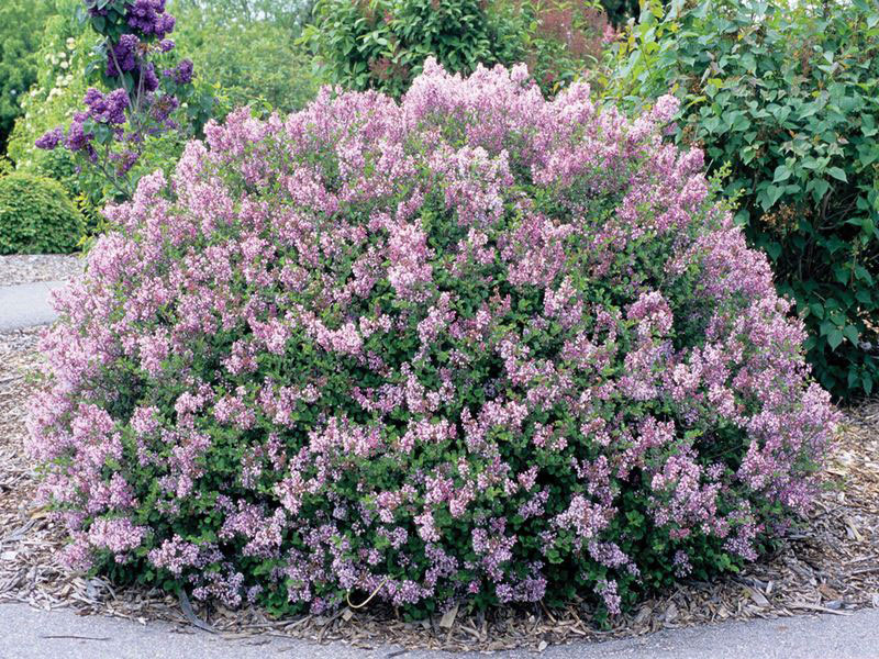 Lilas Claifornia Rose