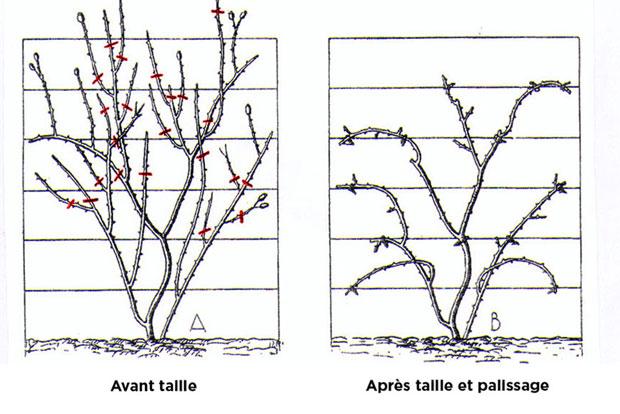 Quand et comment tailler les rosiers - Quand doit on tailler les coniferes ...