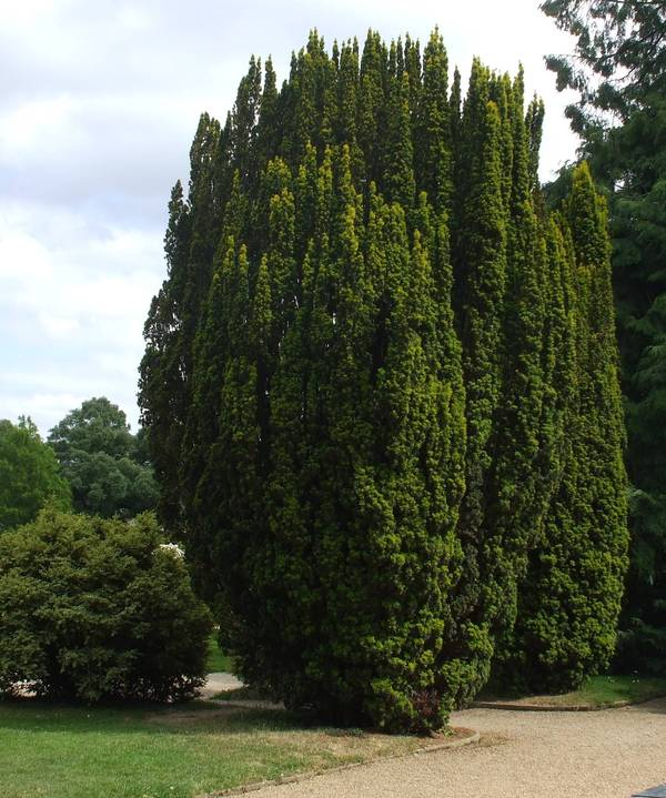 TAXUS baccata AT