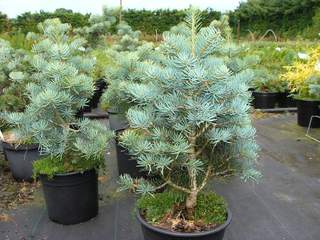 ABIES concolor 'Compacta' AT