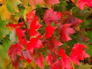 ACER rubrum October Gloryfeuille