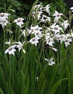 Acidanthera_bicolor_in_gradina
