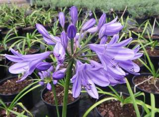 Agapanthe naine - AGAPANTHE Pitchoune® Blue - Vivace