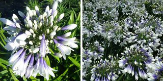 Agapanthe - AGAPANTHUS Twister - Vivace