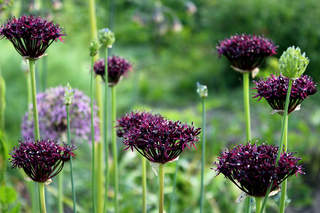 Ail d'ornement - ALLIUM Atropurpureum lot de 5 - Bulbe