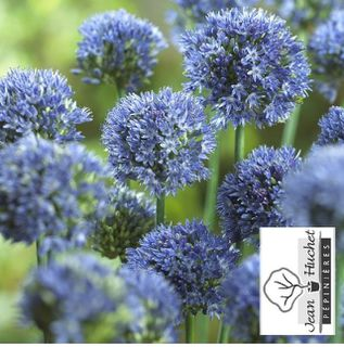 Ail d'ornement - ALLIUM caeruleum bulbe - Bulbe