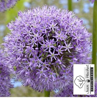 Ail d'ornement - ALLIUM 'Gladiator' bulbe - Bulbe