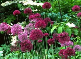 Ail d'ornement - ALLIUM 'Purple sensation' bulbe - Bulbe