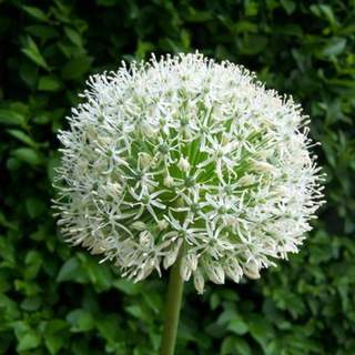 Ail d'ornement - ALLIUM stipitatum 'White giant' bulbe - Bulbe