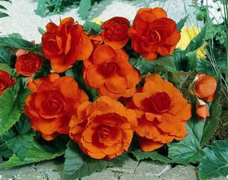 Begonia tuberosa double orange