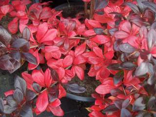 Berberis Red Jewel V