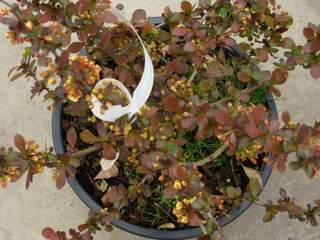 BERBERIS thunbergii Atropurpurea - lot de 15 plants