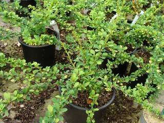Epine vinette - BERBERIS thunbergii Green carpet - Arbuste