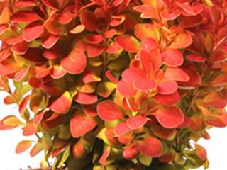 Epine vinette - BERBERIS thunbergii 'Orange Ice' - Arbuste