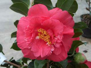 Camelia - CAMELLIA japonica Blood of China - Terre de bruyère