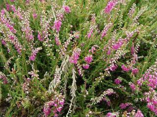 BRUYERE calluna' Red Favorit'