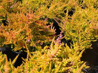 Bruyère calluna 'Wickware Flame' AT