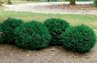 Buis 'Green Mound' - BUXUS sempervirens Green Mound - Arbuste