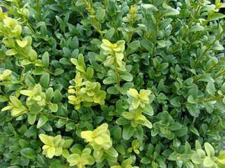 BUXUS pyramidalis AT