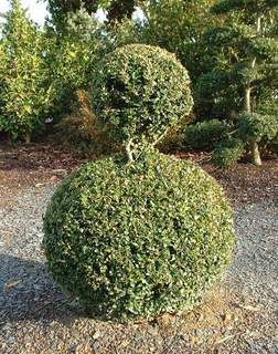BUXUS sempervirens - lot de 15 plants