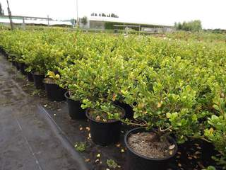 BUXUS sempervirens 'Faulkner' at