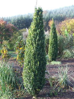 Buis 'Graham Blandy' - BUXUS sempervirens Graham Blandy - Arbuste