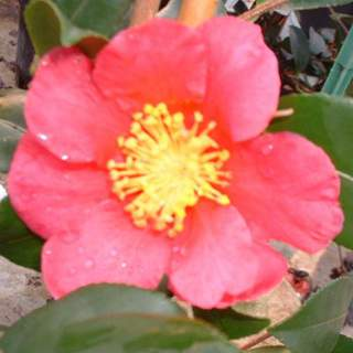Camelia sasanqua Crimson King AT