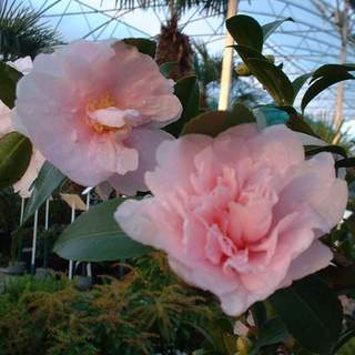 Camelia sasanqua Jean Mary AT