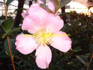 Camelia sasanqua Maiden Bush1 AT