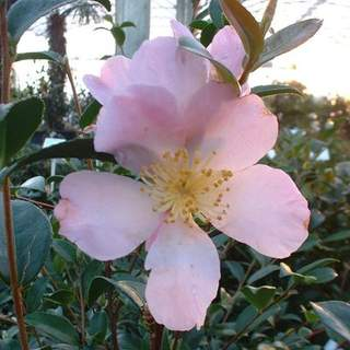 Camelia sasanqua Maiden Bush2 AT
