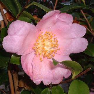 camelia sasanqua plantation pink AT