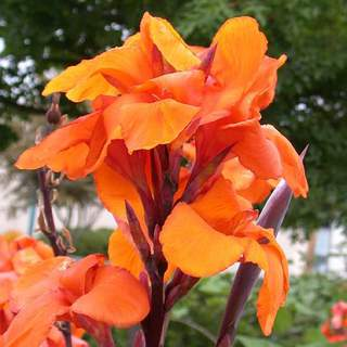 Balisier - CANNA haut Wyoming - Bulbe