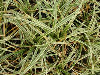 CAREX morrowii 'Ice Dance' AT