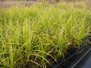 CAREX muskingumensis at
