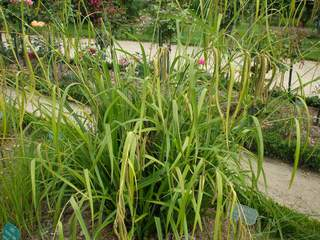 CAREX pendula AT