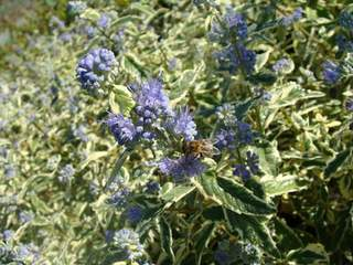 Caryopteris clandonensis White Surprise 2 at